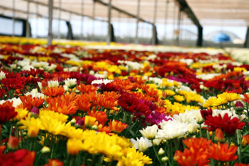 7 Lugares Para Visitar Em Holambra A Cidade Das Flores