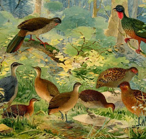 Exposição 'Fauna e Flora Brasileiras' apresenta litografias com aves amazônicas